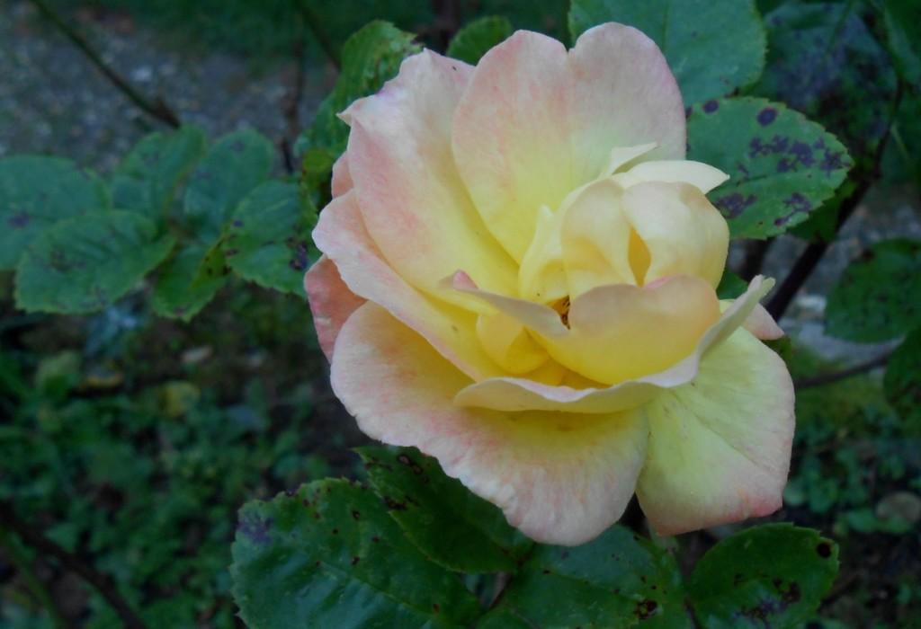 petite rose du 30 nov 2014