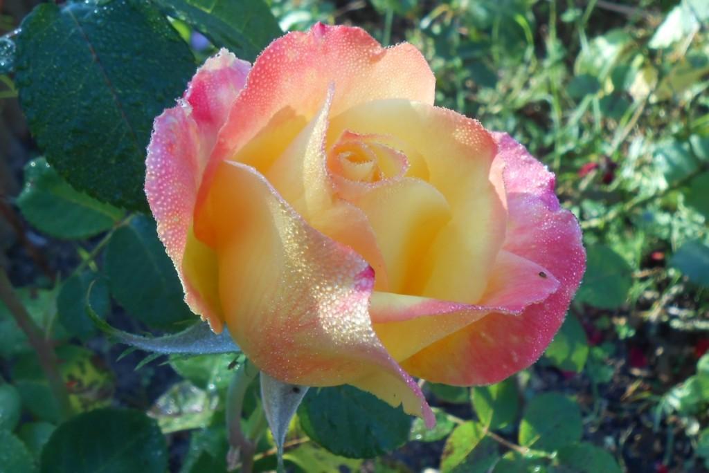 rose sous la pluie et le soleil